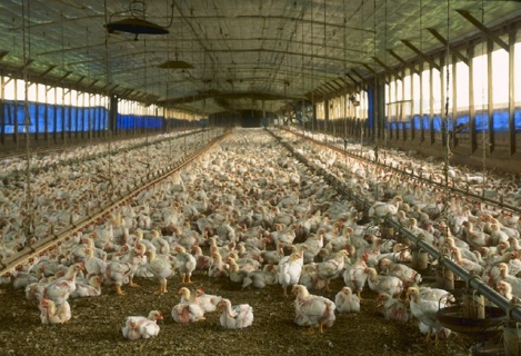 factory farm chicken