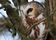 NorthernSaw-whetOwl-Vyn_081210_00012